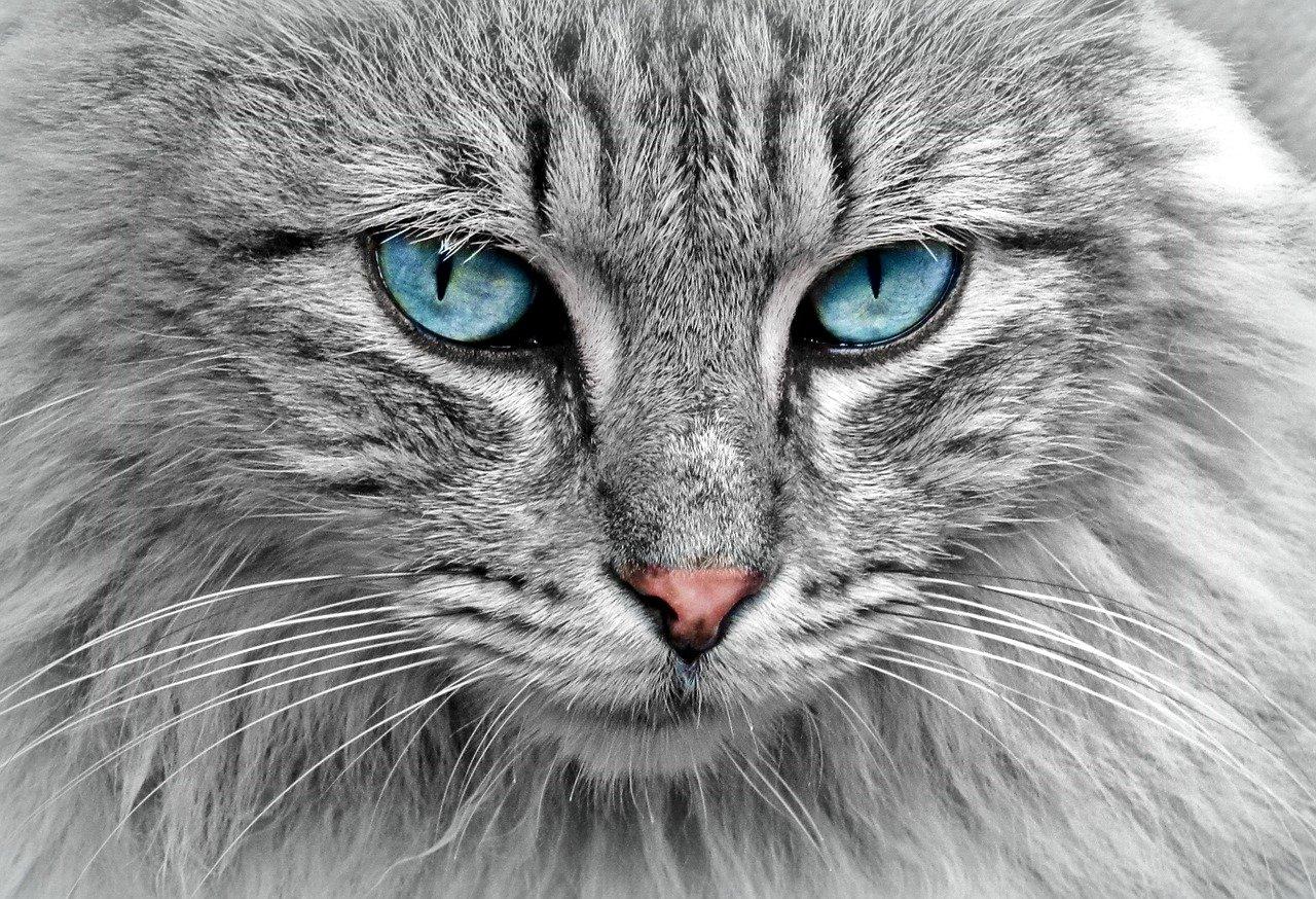 חיסון מרובע לחתול