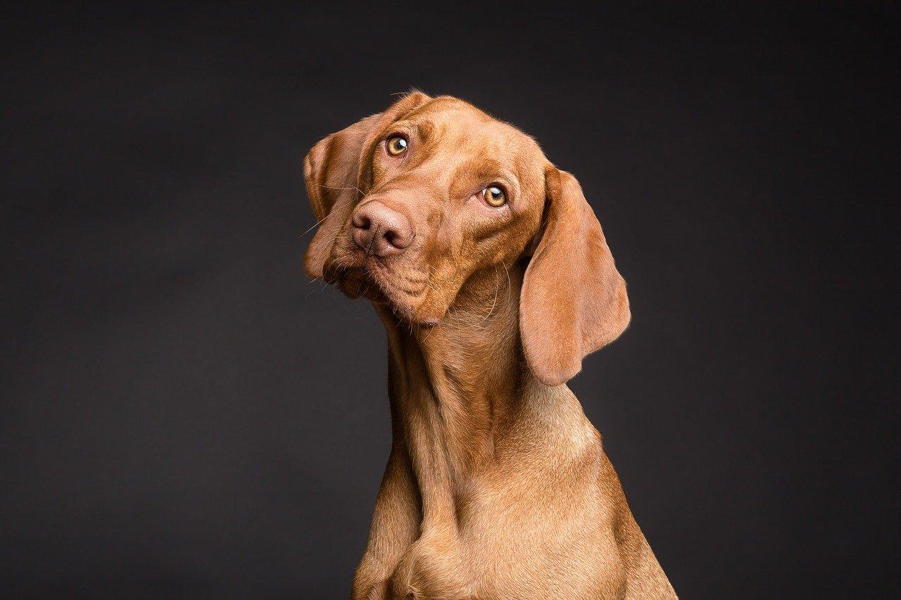 חיסון משושה לכלב בוגר